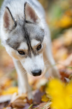 Beautiful closeup of a Husky dog in a forest