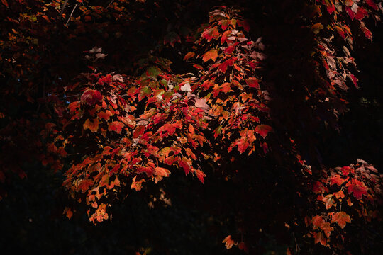 Red autumn leaves in the afternoon sun