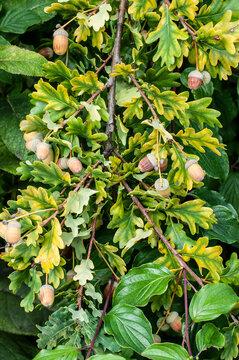 acorns at the twig of an oak tree