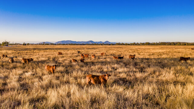Up close with cattle in Mount Morgan