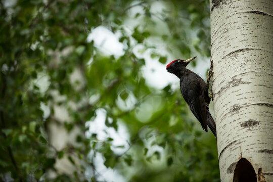 Bird nesting behaviour. Woodpecker with chick in the nesting hole. Black woodpecker in the forest. Wildlife scene with black bird in the nature habitat. Czech Republic. Wildlife.