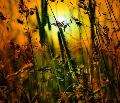 golden sunset grass