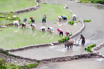 Farmers planting rice on terraced rice fields in Lao Cai province, Vietnam.