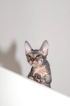 The Don Sphynx kitten hides on the top shelf