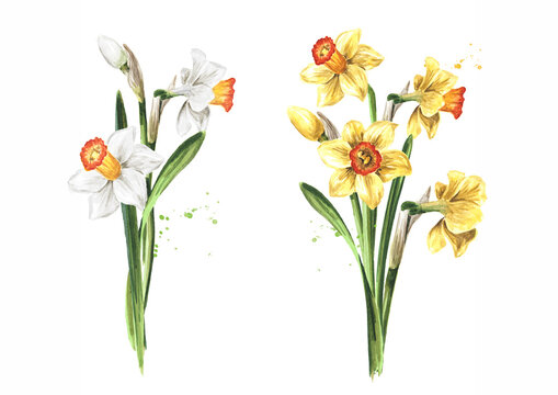 Spring Narcissus flower. Hand drawn watercolor illustration, isolated on white background .tif