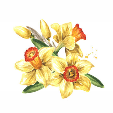 Spring Narcissus flowers, Hand drawn watercolor illustration, isolated on white background