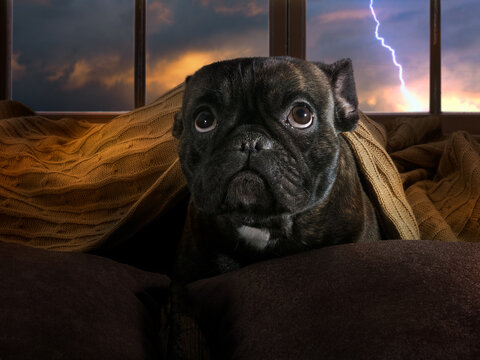 The dog is afraid of thunderstorms. Bulldog hiding under a blanket