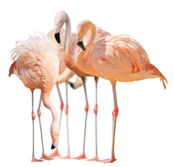 isolated group of four flamingo