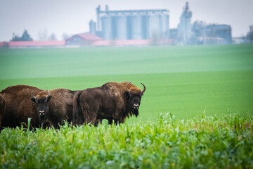 impressive giant wild bison grazing peacefully in the autumn scenery