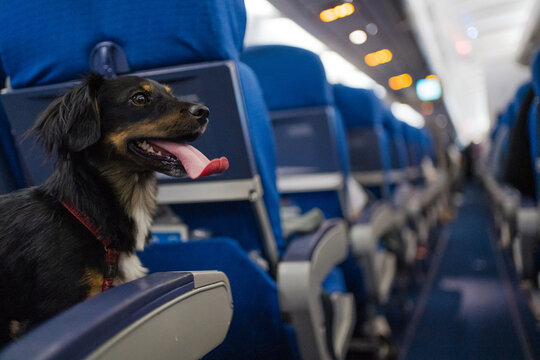 Dog On The Seat Of An Airplane.