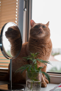 cannabis branch and a funny ginger cat