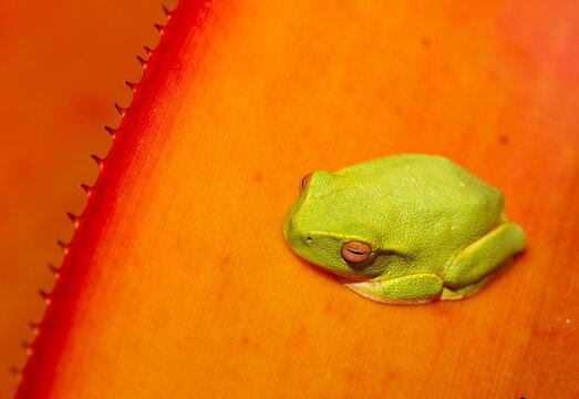 a green treefrog