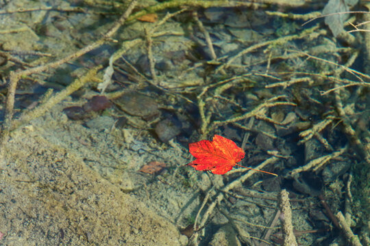 Lonely red autumnal leaf floating in clear water. Autumn concept