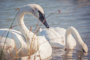 Closeup shot of trumpeter swans swimming on a lake