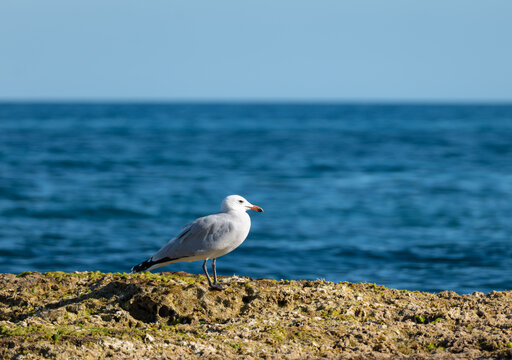 A seagull on a rock in the Mediterranean near the eastern Spanish city of Torrevieja in autumn. It's a sunny afternoon with deep blue water.