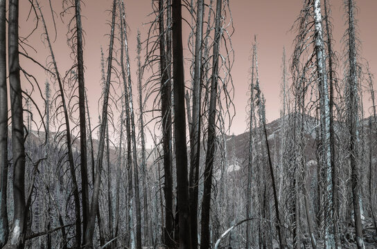 Inverted image of wildfire damaged forest along the Pacific Crest Trail