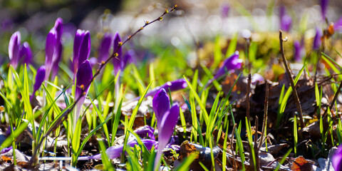 crocus flowers close up on the forest glade. beautiful nature scenery on a sunny day