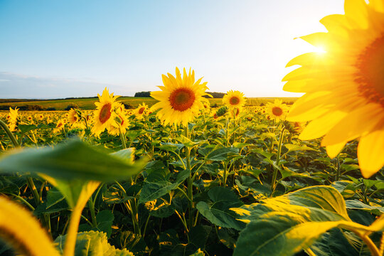 Bright yellow sunflowers glow in the sunlight. Blooming field closeup.