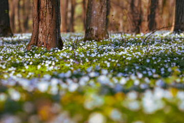 Wall Mural - Fantastic forest with fresh flowers in the sunlight. Early spring time is the moment for wood anemone.
