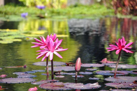 Three pink waterlily in full bloom and one still closed with burgundy lily pads at the pond