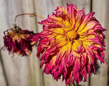 Dried wilting Dahlia flower