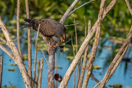 Snail Kite Feasting