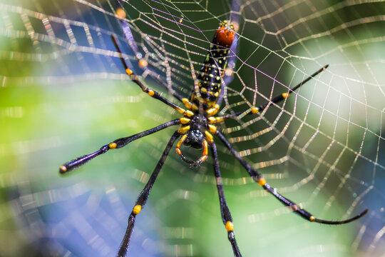 Giant wood Spider near Chiang Mai, Thailand
