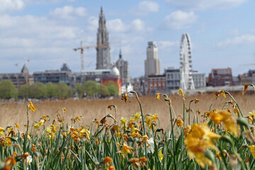 A field of yellow withered daffodils (narcissus) plants in front of the skyline of Antwerpen, The Netherlands, Europe