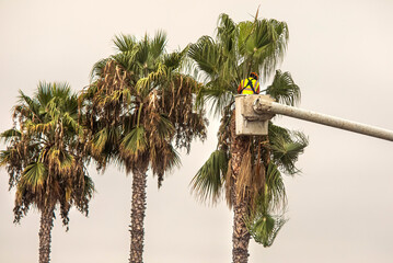 A worker trimming palm trees with a chain saw in a tree trimming bucket against a white sky