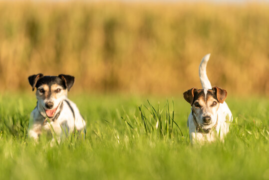 Two cute small dogs are running across a meadow in the season autumn in soft light
