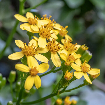 Fleurs de millepertuis