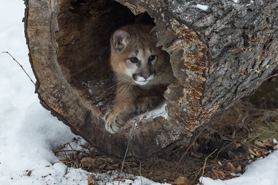Female Cougar (Puma concolor) Looks Right Out of Inside Log Winter