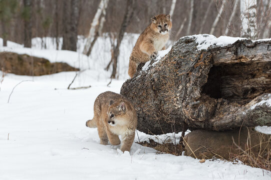 Female Cougars (Puma concolor) In Front of and On Log Winter