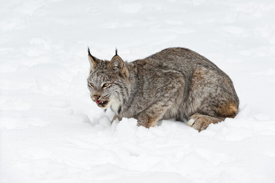 Canadian Lynx (Lynx canadensis) Sits in Snow Tongue Curled Winter