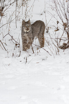 Canadian Lynx (Lynx canadensis) Steps Out of Weeds on Embankment Winter