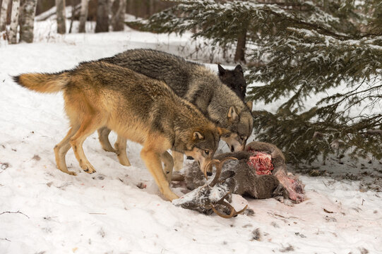 Grey Wolves (Canis lupus) Lined Up On One Side of Deer Carcass Winter
