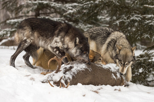 Grey Wolves (Canis lupus) Gather Over Deer Carcass Winter