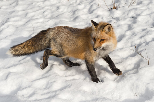 Red Fox (Vulpes vulpes) Stops to Turn Left While Moving Right Winter