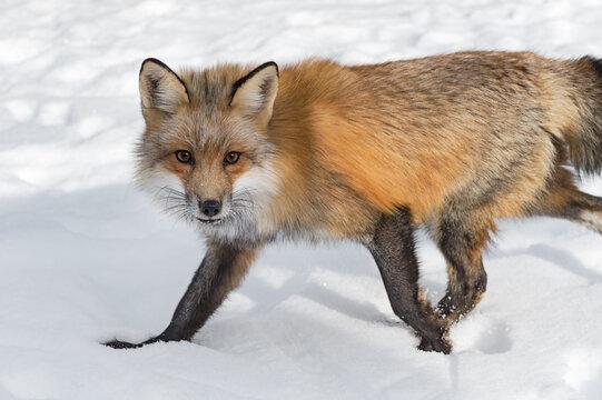 Red Fox (Vulpes vulpes) Steps Left Through Snow Winter