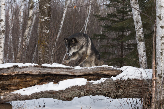 Black Phase Grey Wolf (Canis lupus) Leaps Over Snowy Log Winter