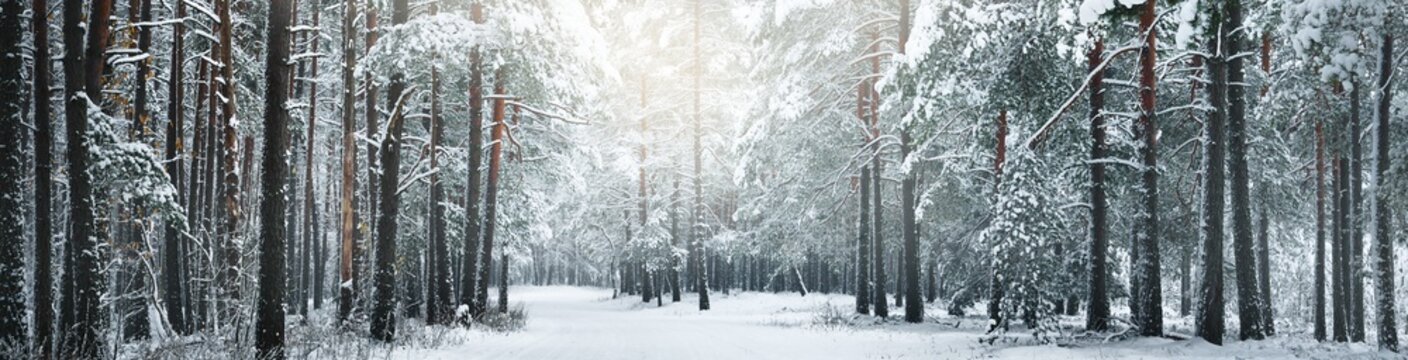 Pathway through snow-covered pine tree forest in a blizzard. Evergreen fir trees close-up. Atmospheric landscape. Idyllic rural scene. Winter wonderland. Pure nature, climate, seasons. Panoramic view