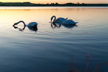 Gang, group of swans at sunrise. Backlight. Warm tones on the water lake. Silhouettes, shadows. Beautiful background.