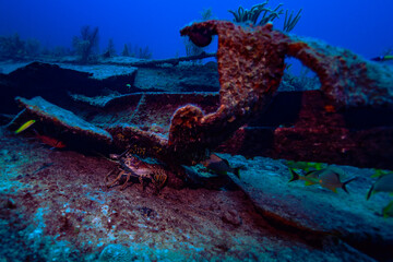 A Caribbean lobster hiding under a part of the ship wreck