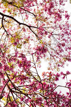 Ant tree branches (Lapacho) with pink flowers in spring, bottom view, selective focus. Argentina