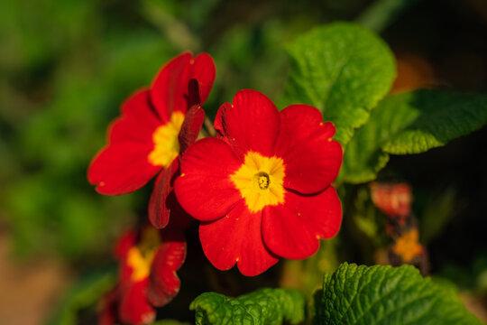 梅雨の花壇に咲くペチュニアの花