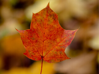 Obraz Jesienny czerwony liść w warszawskim parku - fototapety do salonu