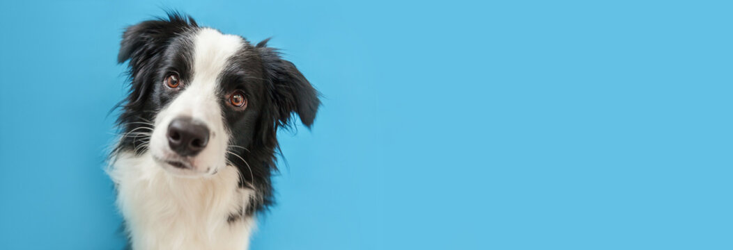 Funny studio portrait of cute smiling puppy dog border collie isolated on blue background. New lovely member of family little dog gazing and waiting for reward. Pet care and animals concept Banner