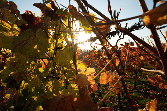 vineyard in Frankonia autumn