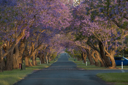 Line of Jacaranda trees are creating purple flower tunnel in the sunset time. Grafton, Australia.
