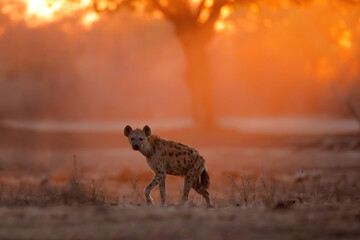 Wall Murals Hyena Spotted Hyena (Crocuta crocuta) wlking at sunrise with orange light in the background in Mana Pools National Park in Zimbabwe